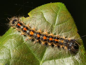 long-island-gypsy-moth-caterpillar-control