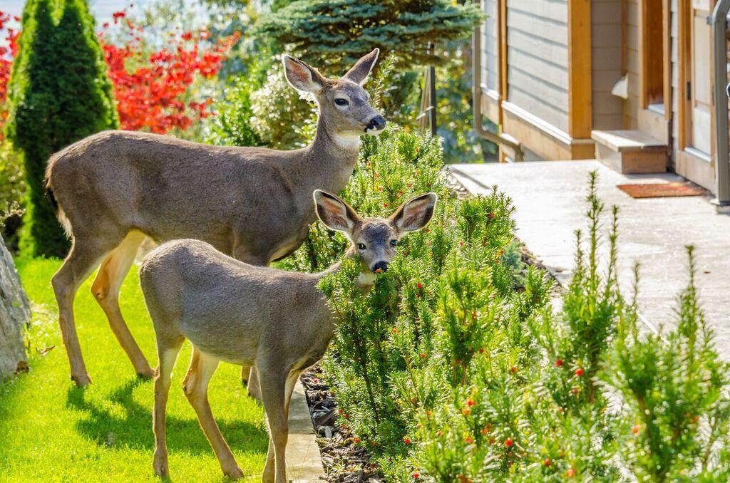 Humane Deer Control 1