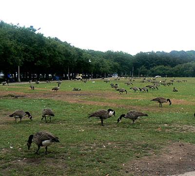 Humane Geese Control 2