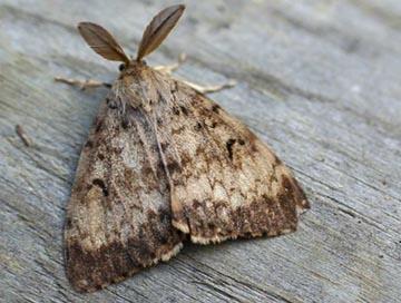 long-island-gypsy-moth-caterpillar-control