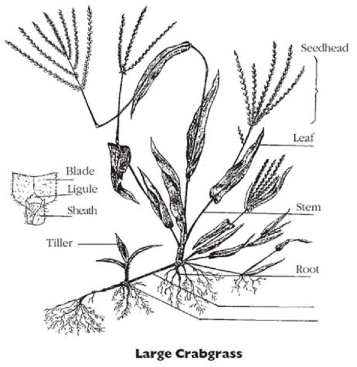 long-island-large crabgrass-control