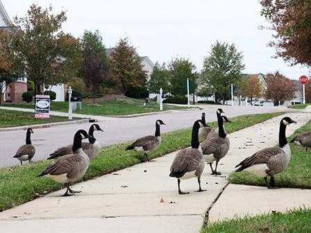 Humane Geese Control 1
